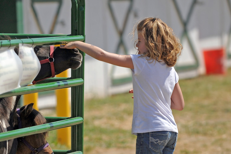 Six-year-old Shayla Kelly pets the miniature horses at the Sheridan County Fair on Saturday, August 6 at the Sheridan County Fairgrounds. The horses are her favorite part of the fair. Mike Pruden | The Sheridan Press