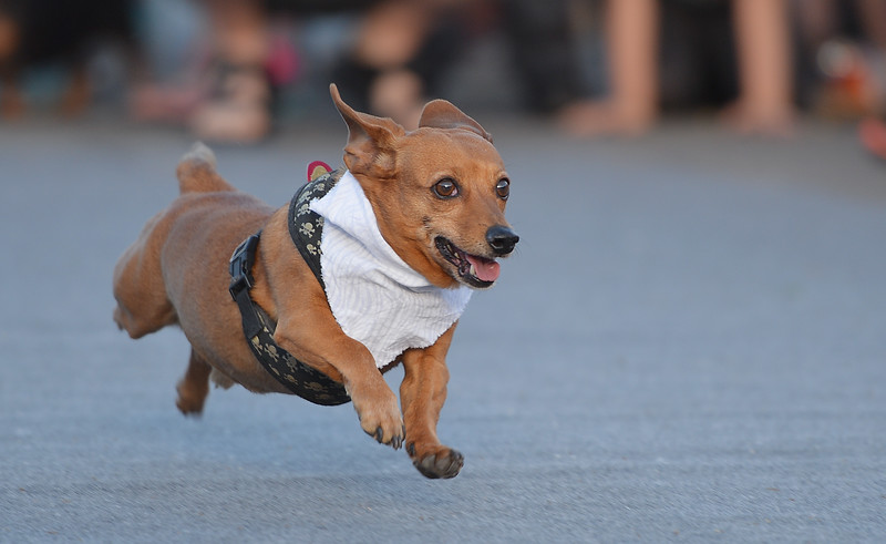 Justin Sheely | The Sheridan Press<br /> A dog runs down the track for the 'Age Bratwurst' class race during the Wiener Dog Races Tuesday evening outside of Black Tooth Brewery. The event was hosted by Muddy Paw Prints.