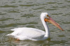 White pelican on Lake Morton.