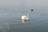 Swan on lake Morton.