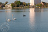 Swans on Lake Morton.