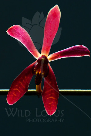 Bird On A Wire<br /> <br /> Flower pictured :: Orchid<br /> <br /> Flower provided by :: Little Flower Market<br /> <br /> 112512_005585 ICC sRGB 16in x 24in pic