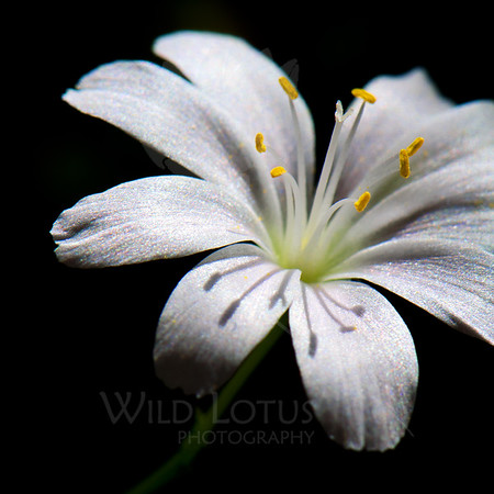 Shine<br /> <br /> Flower pictured :: Bitterroot<br /> <br /> Flower provided by :: Tagawa Gardens<br /> <br /> 122312_006862 ICC sRGB 16in x 16in pic