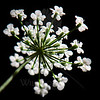 Lace Sky<br /> <br /> Flower pictured :: Queen Anne's Lace<br /> <br /> Flower provided by :: ??<br /> <br /> 091612_001801 ICC sRGB 16in x 16in pic