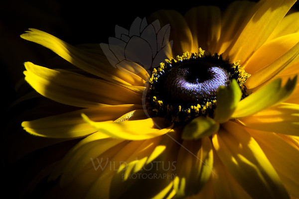 Flower pictured :: Black-eyed Susan<br /> <br /> Flower provided by :: Tagawa Gardens<br /> <br /> 081912_000287 ICC sRGB 16in x 24in pic