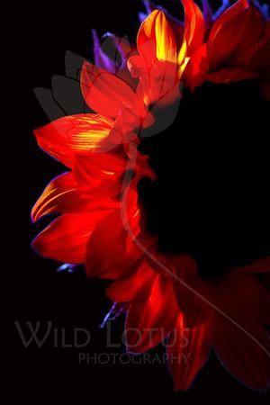 Eclipse<br /> <br /> Flower pictured :: Sunflower<br /> <br /> Flower provided by :: Babylon Floral<br /> <br /> 102712_004510