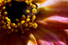Bumblebee<br /> <br /> Flower pictured :: French Marigold<br /> <br /> Flower provided by :: Tagawa Gardens<br /> <br /> 050213_011146 ICC sRGB 16x24 pic