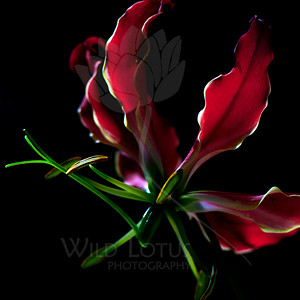Firefly  Flower pictured :: Climbing Lily  Flower provided by :: Babylon Floral  051412_008799 ICC sRGB 16in x 16in pic