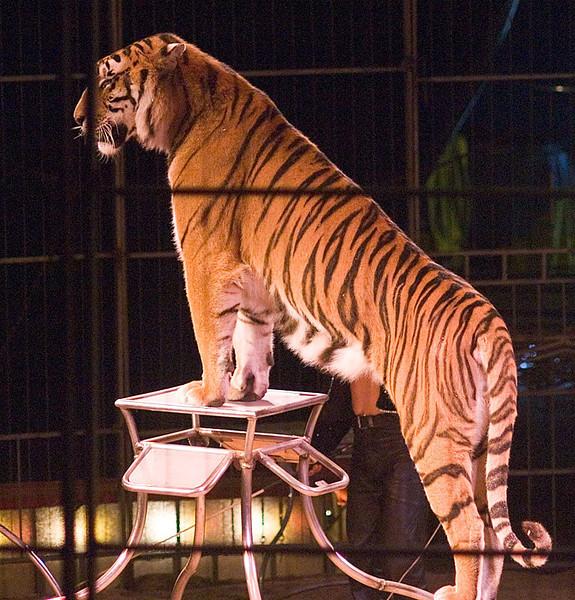 Tiger dressage