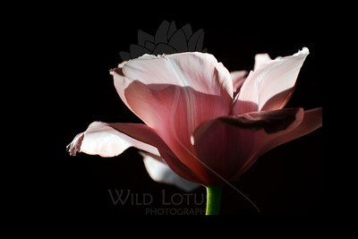 """Fly Away  Flower featured in """"A Year In Bloom 2013 Calendar"""" and in """"A Year in Pink 2013 Calendar""""  Flower pictured :: Tulip  022412_002230 ICC adobe 16in x 24in pic 20in x 30in matte"""