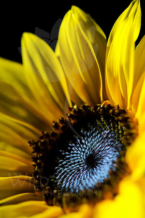 Indigo Sky<br /> <br /> Flower pictured :: Sunflower<br /> <br /> Flower provided by :: Tagawa Gardens<br /> <br /> 052812_010096 ICC sRGB 16in x 24in pic