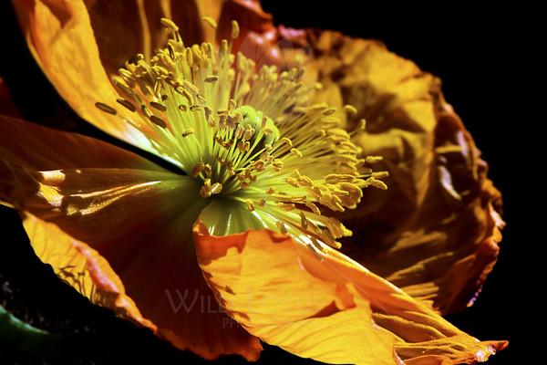 Sunkist<br /> <br /> Flower pictured :: Iceland Poppy<br /> <br /> Flower provided by :: Babylon Floral<br /> <br /> 041413_010288 ICC sRGB 16x24 pic