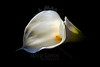 By Candlelight<br /> <br /> Calla Lily<br /> <br /> 021812_001800 ICC adobe 16in x 24in pic 20in x 30in matte