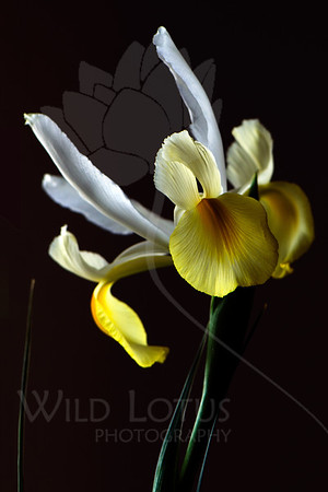 """Grace<br /> <br /> Flower featured in """"A Year In Bloom 2013 Calendar""""<br /> <br /> Flower pictured :: Japanese Iris<br /> <br /> 032512_004073 ICC adobe 16in x 24in pic"""