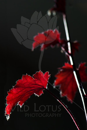 Silver Linings<br /> <br /> Leaf pictured :: Coral Bells<br /> <br /> Leaf provided by :: Babylon Floral<br /> <br /> 060612_010784 ICC sRGB 16in x 24in pic
