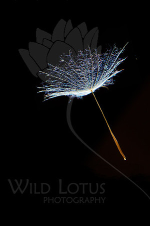 Sometimes You Fall Alone<br /> <br /> Flower pictured :: Salsify Seeds<br /> <br /> 040713_009962 ICC sRGB 16x24