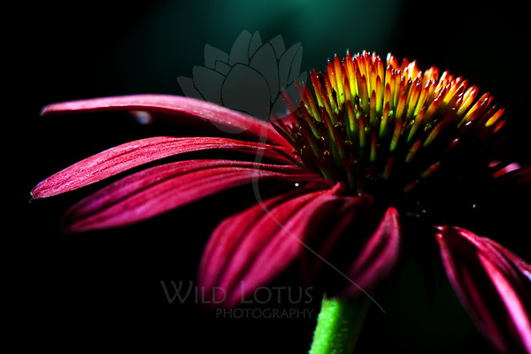 Flower pictured :: Echinacea<br /> <br /> Flower provided by :: The Gardens @ Highlands Ranch<br /> <br /> 071112_012797 ICC sRGB 16in x 24in pic