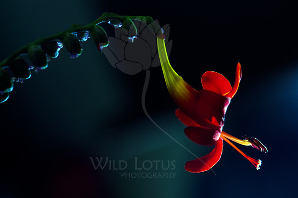 Tongue of Dragon<br /> <br /> Flower pictured :: Crocosmia<br /> <br /> Flower provided by :: Tagawa Gardens<br /> <br /> 081412_015302 ICC sRGB 16in x 24in pic