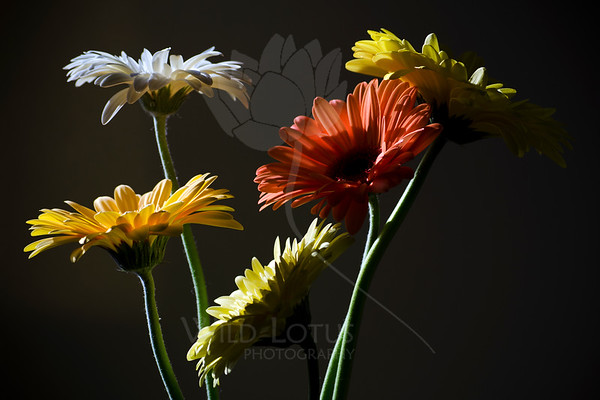 Joyful Noise <br /> <br /> Flower pictured :: Gerber Daisies<br /> <br /> 022812_002542 ICC adobe 16in x 24in pic