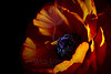 Embers<br /> <br /> Flower pictured :: Ranunculus<br /> <br /> Flower provided by :: Tagawa Gardens<br /> <br /> 033113_009680 ICC sRGB 16x24 pic
