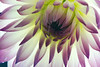 Breath<br /> <br /> Flower pictured :: Dahlia<br /> <br /> Flower provided by :: Babylon Floral<br /> <br /> 091414_005554 ICC sRGB 16x24 pic