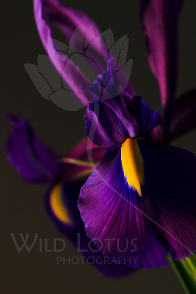 Duchess<br /> <br /> Flower pictured :: Iris<br /> <br /> 032712_004236  ICC sRGB 16in x 24in pic