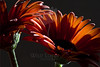 Pumpkin Daisy #2<br /> <br /> Flower pictured :: Gerbera Daisy<br /> <br /> Flower provided by :: Babylon Floral<br /> <br /> 122312_007034 ICC sRGB 16in x 24in pic