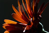 Pumpkin Daisy #3<br /> <br /> Flower pictured :: Gerbera Daisy<br /> <br /> Flower provided by :: Babylon Floral<br /> <br /> 122312_007021 ICC sRGB 16in x 24in pic