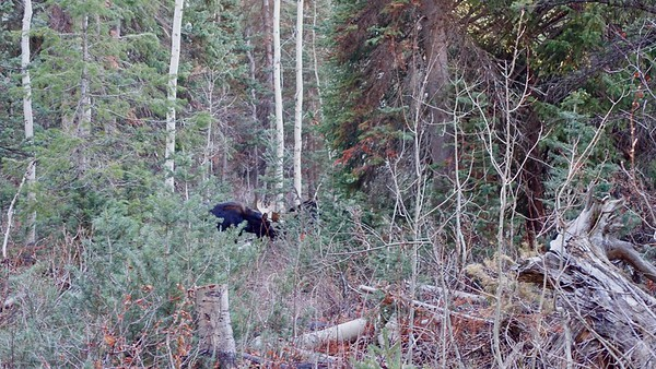 It's hard to see... the two bull moose are sparring with each other, antler to antler