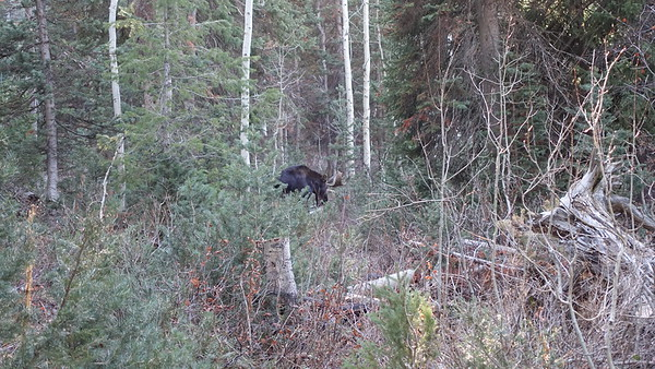 I didn't trust getting closer than this as moose are known to be aggressive during rutting season