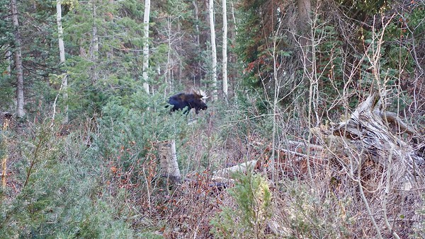 Sure enough, we encountered two bull moose blocking the path forward