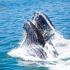 Humpback Surfaces with Fish