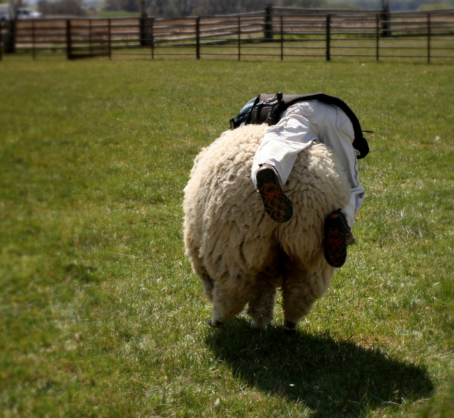 How long can this fella stay on the sheep as it runs?