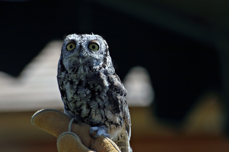 This shriek owl was brought by Susi and the Willow Park Zoo.