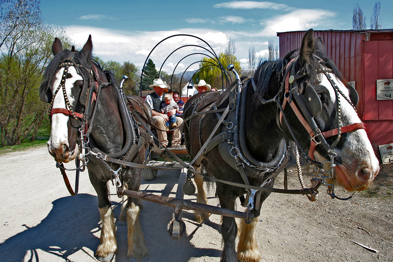 There were four wagons going at Baby Animals Days. These were such lovely horses, and skilled drivers.