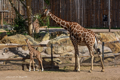 The baby is about 6 feet tall at birth. The zoo keeper says he was born on Friday night July 17, 2015 at midnight. He was up and walking in 10 minutes with a little help from Mom.