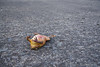 Toad did not make it crossing the road during a thunderstorm.