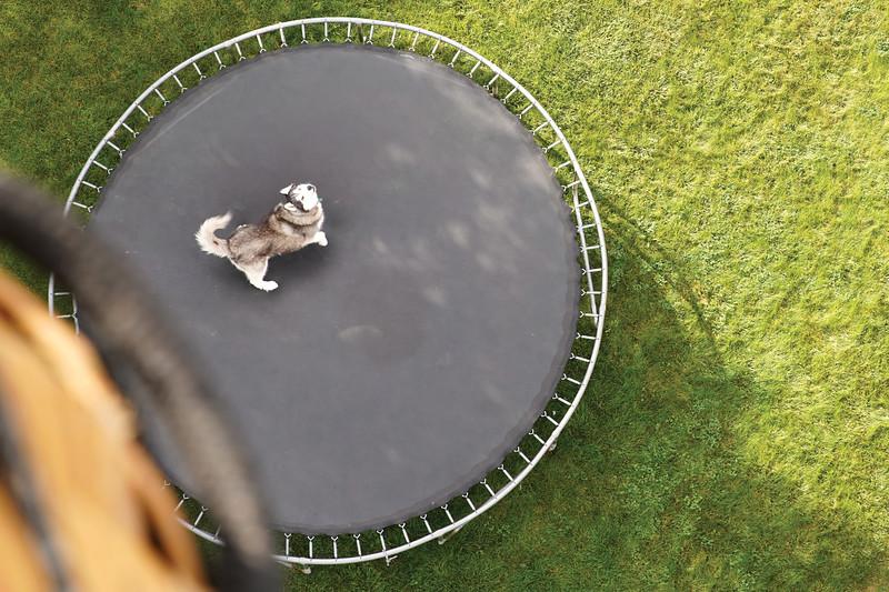Matthew Gaston | The Sheridan Press<br>Sibearian husky, Loki, barks from atop a trampoline at hot air balloon the flies over head Friday, Sept. 6, 2019.