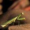 This praying mantis came to check the balloon bag out..... they are such neat creatures