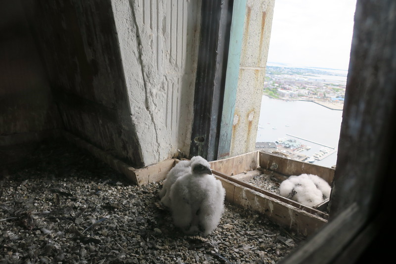 Peregrine Falcon Chicks