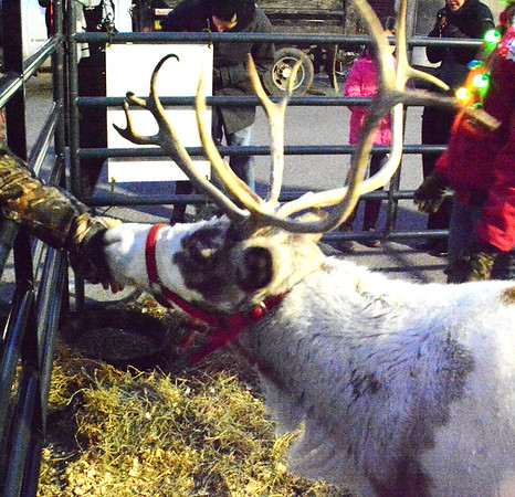 Diane Raver | The Herald-Tribune<br /> The reindeer Vixen was a hit with the crowd.