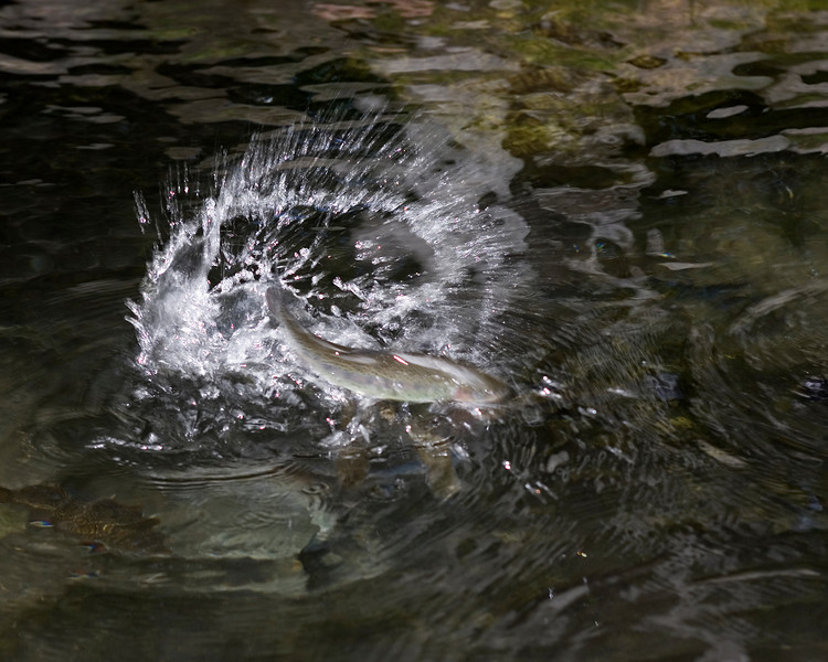 A Rainbow Trout completely out of the water while striking a food pellet.