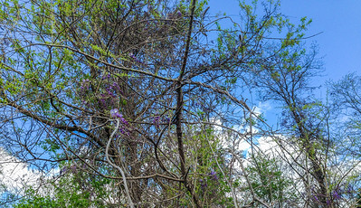 More Wisteria blooming