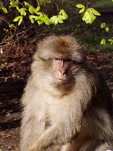 Affenberg in Salem - tame Berber monkeys
