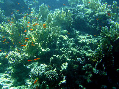 Corals and goldfishes