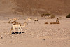 Tour around Sinai - wild camels