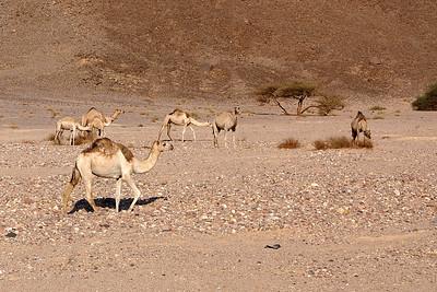 Tour around Sinai - wild camels