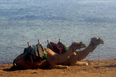 Camels waiting for tourists at Dahab seafront