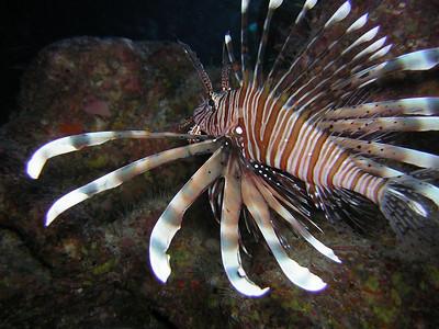A Lionfish - careful, poisonous!