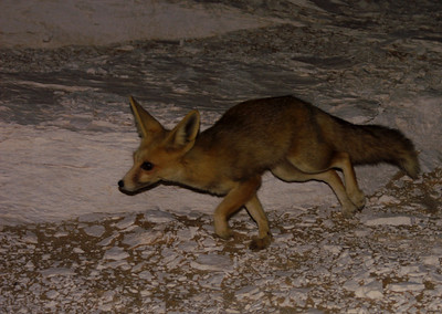 A little desert fox - cute!